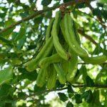 Ceratonia_siliqua_green_pods
